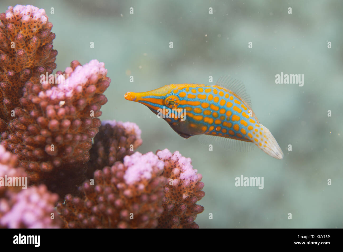Orange und Türkis Koralle Fisch - Seychellen - Afrika Stockfoto