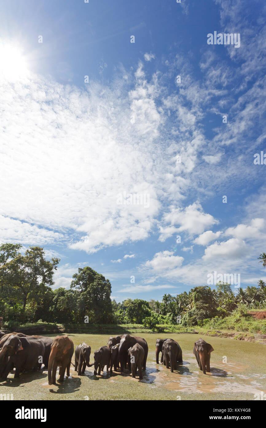 Elefanten bei Maha Oya - Sri Lanka, Asien Stockfoto