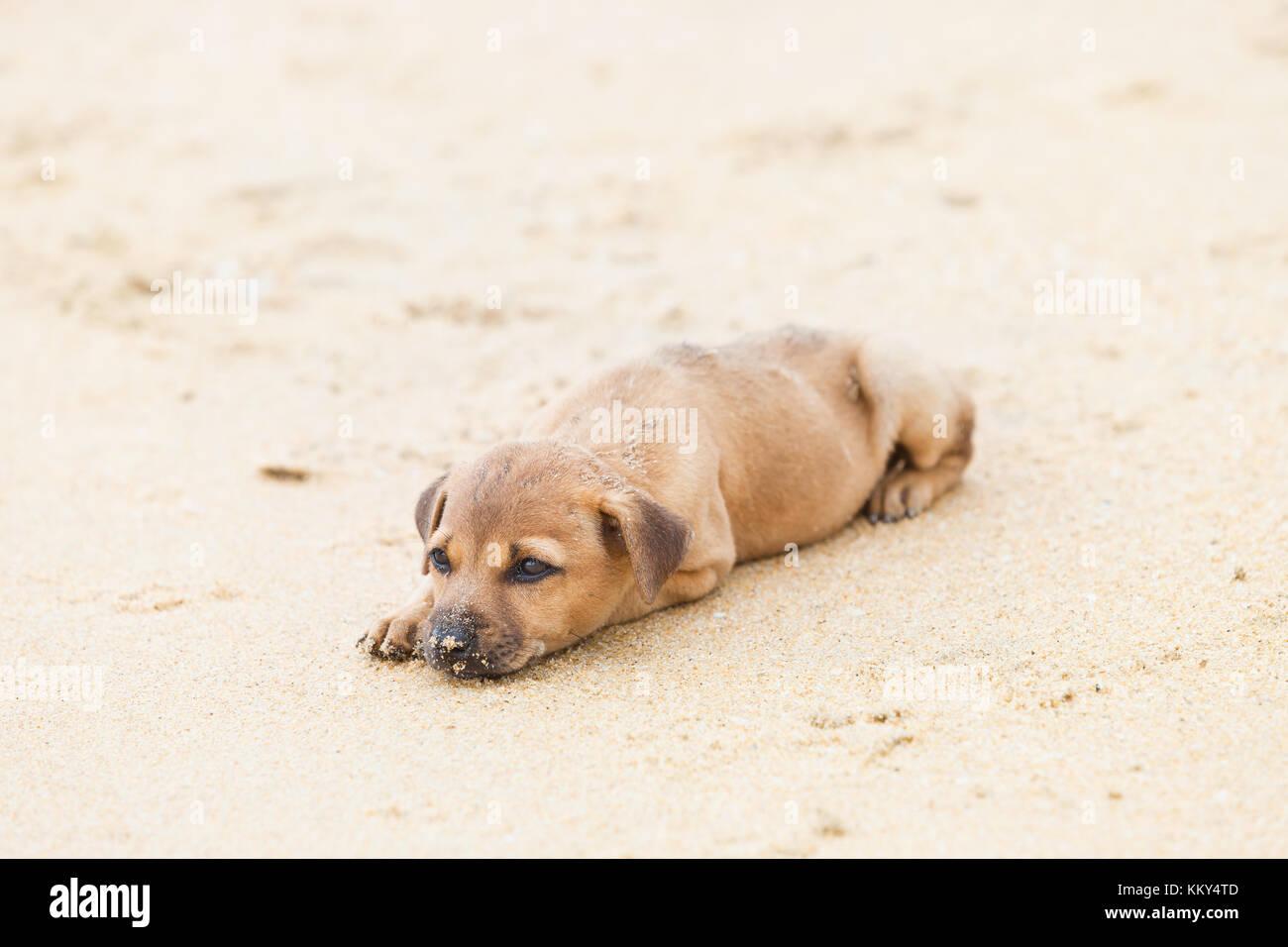 Hund am Strand, Sri Lanka, Asien Stockfoto