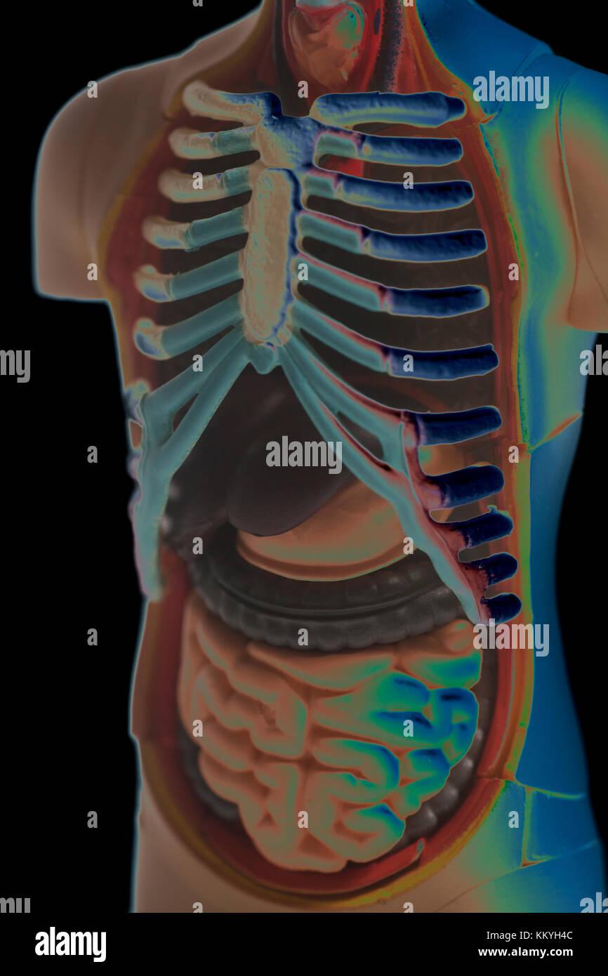 Ungewöhnlich Menschliche Anatomie Modelle Fotos - Menschliche ...