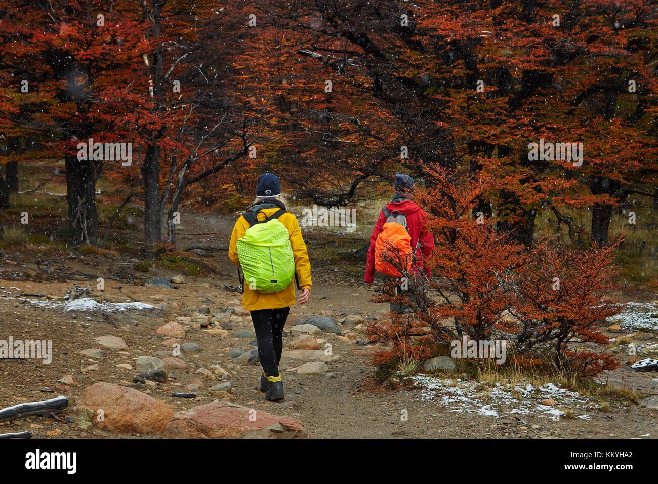 Wanderer in lenga Wald am Anschluss zur Laguna de los Tres, Parque Nacional Los Glaciares (World Heritage Area), Stockbild