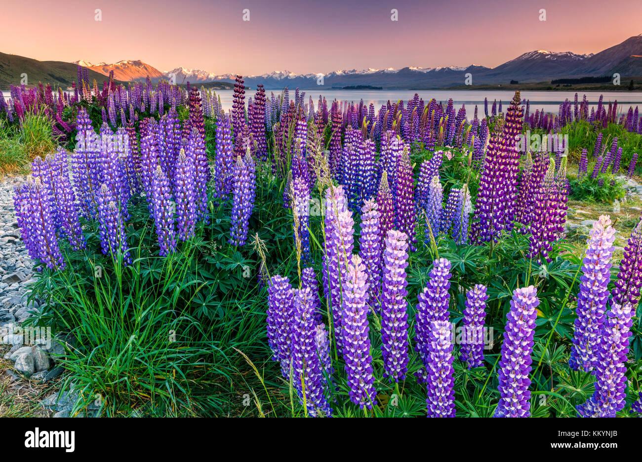 Die lupinen am Lake Tekapo, Mackenzie Country, Neuseeland. Stockbild