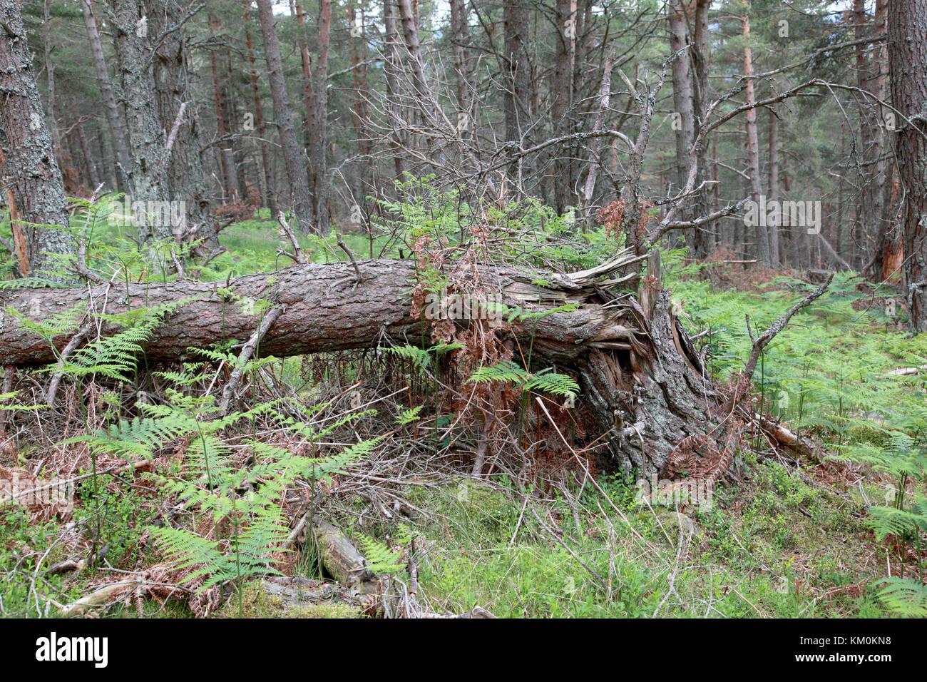 Eine alte, gefallenen Scots Pine Tree zu verrotten natürlich gelassen werden Stockbild
