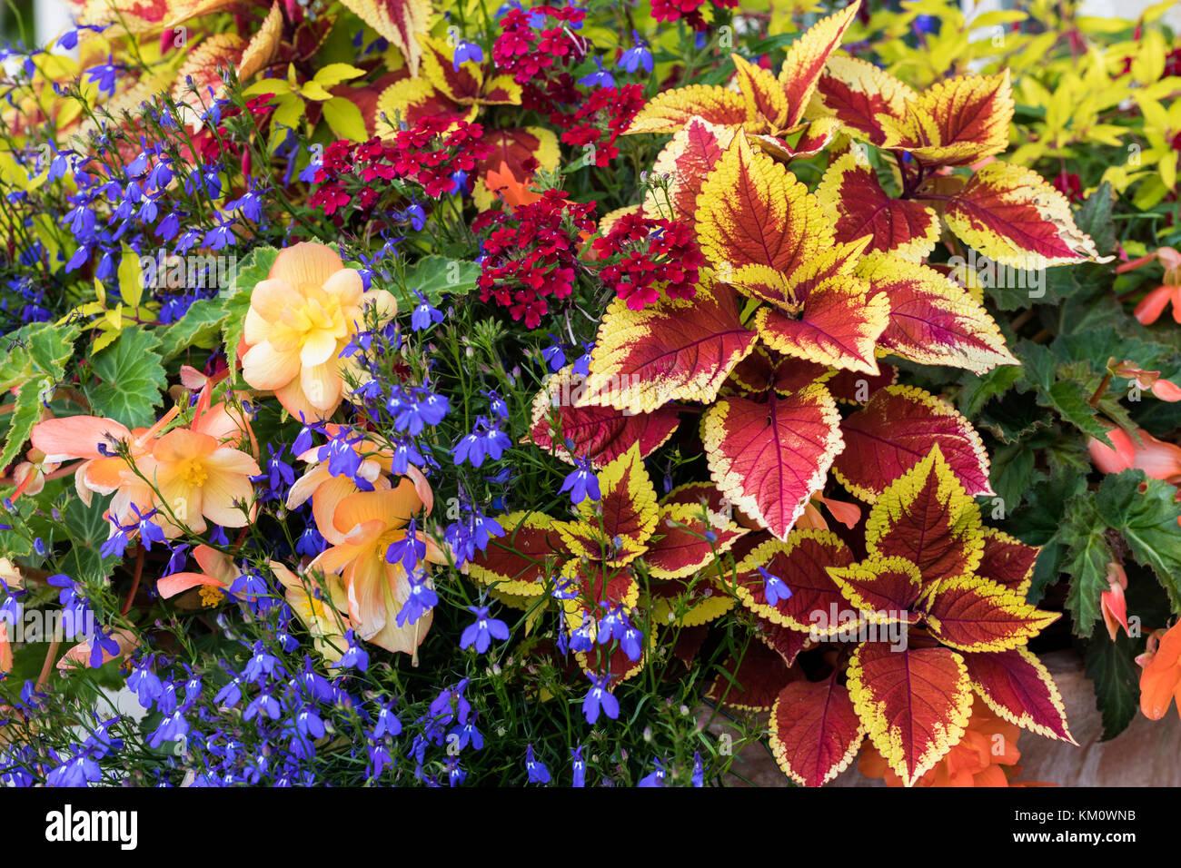 Nahaufnahme von einer sehr bunten Anzeige der Sommer Blumen und Laub gepflanzt in einem Container Stockbild
