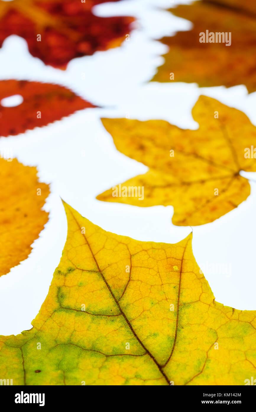 Weinblatt und Ahorn Blätter im Herbst färben in Hinterleuchteten und ...