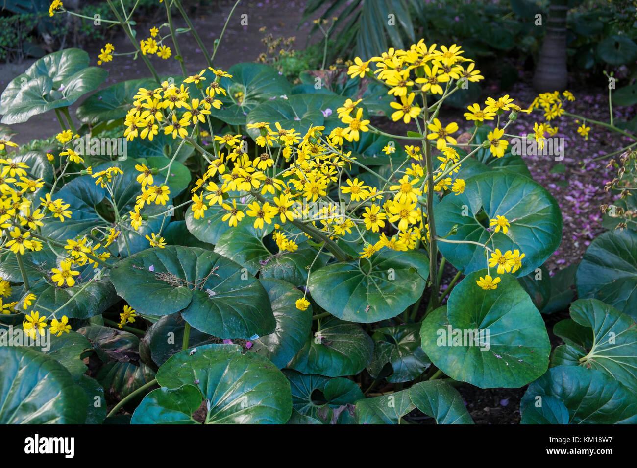 Senecio Kaempferi Stockfotos   Senecio Kaempferi Bilder - Alamy 8027fee07f7