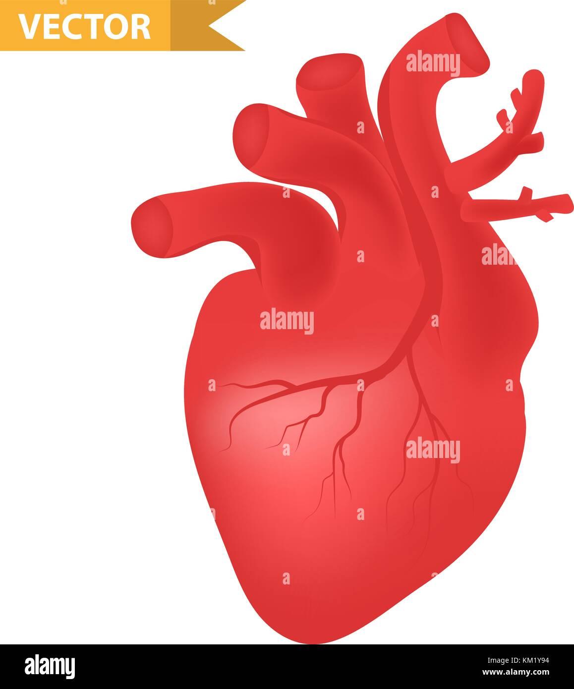 Menschliche Herz Symbol, realistische 3D-Stil. Die inneren Organe ...