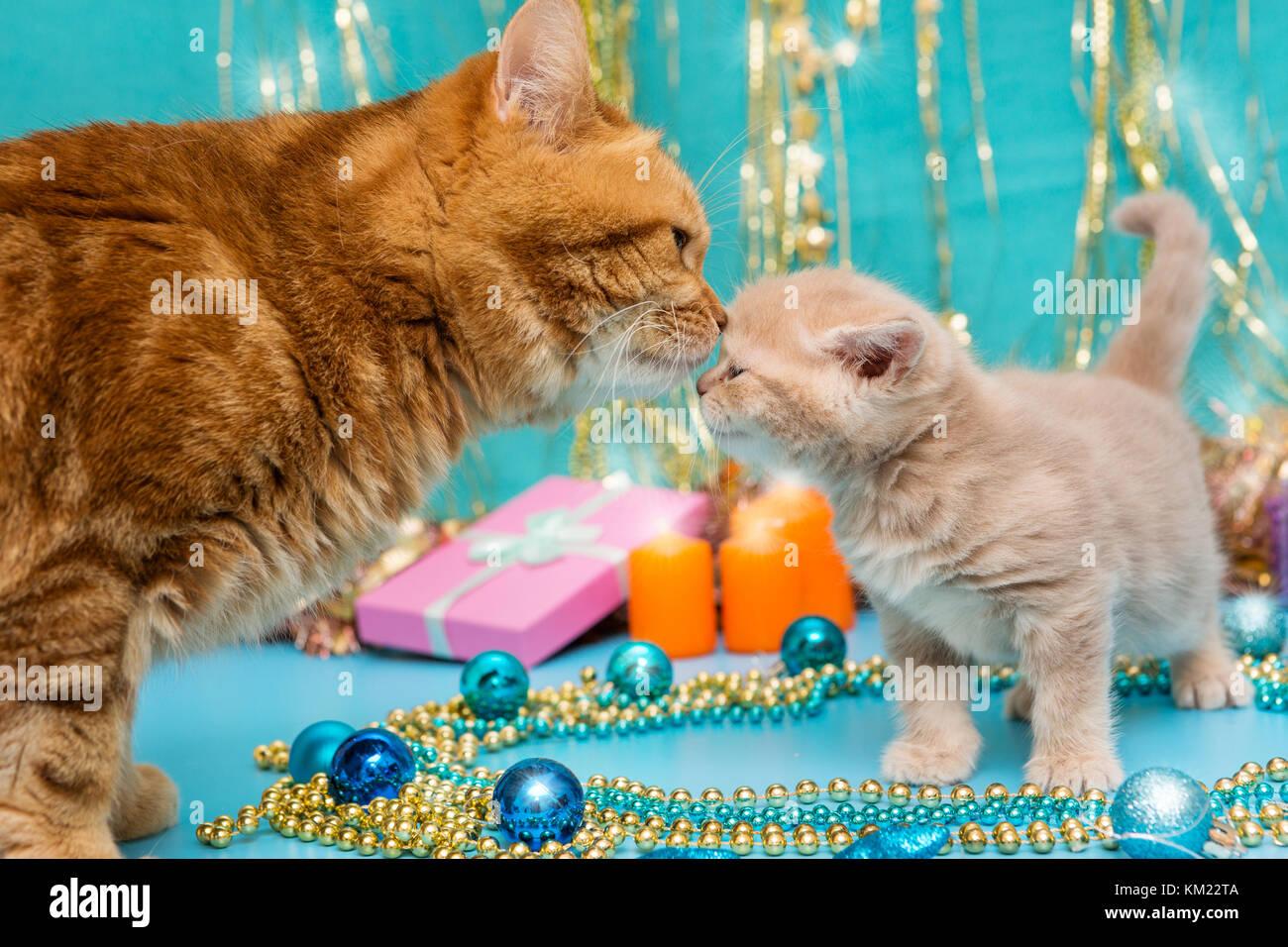 Kleine Britische Kitten Und Erwachsene Katze Auf Dem Hintergrund Von