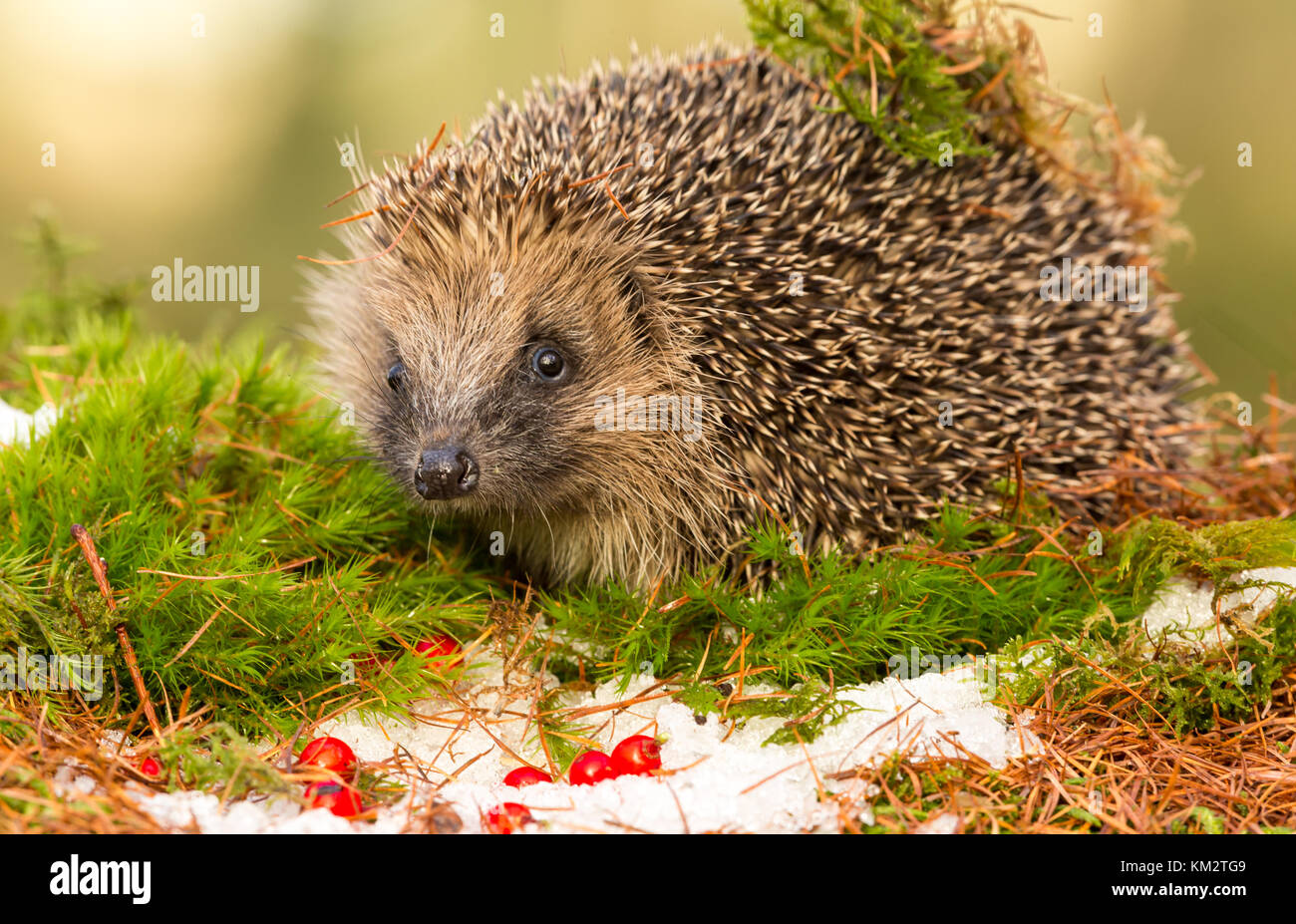 hedgehog winter stockfotos hedgehog winter bilder alamy. Black Bedroom Furniture Sets. Home Design Ideas