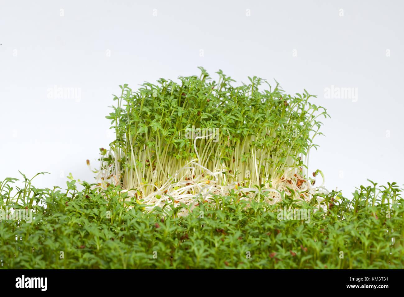 Ganz und zu Extrem Frische Alfalfa Sprossen und Kresse auf weißem Hintergrund @QH_46