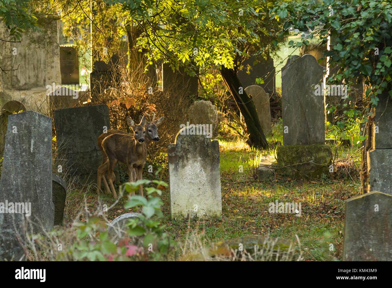 Rotwild auf Friedhof Stockbild