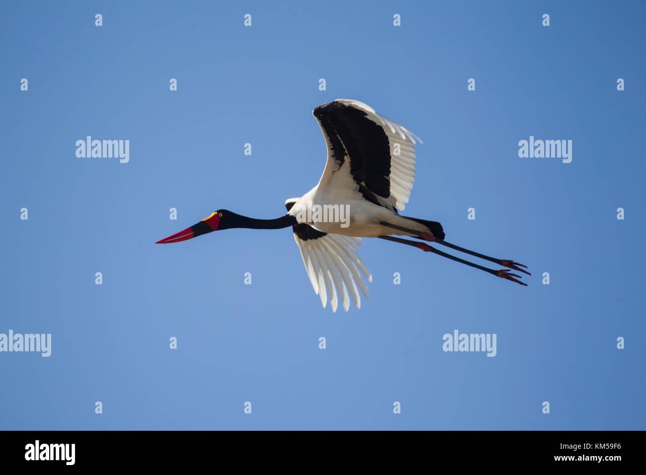 Sattel-billed Stork Ephippiorhynchus senegalensis im Flug gegen eine klare blaue Himmel Stockfoto
