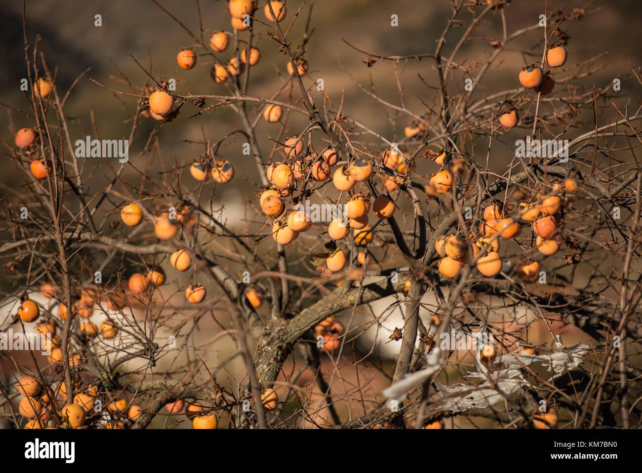 Baum Quitte ohne Blätter und voller Quitten in Monroy, Extremadura, Spanien Stockfoto