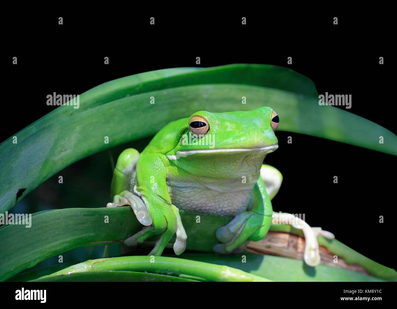 Nahaufnahme einer Tropischen grünen Frosch Stockbild