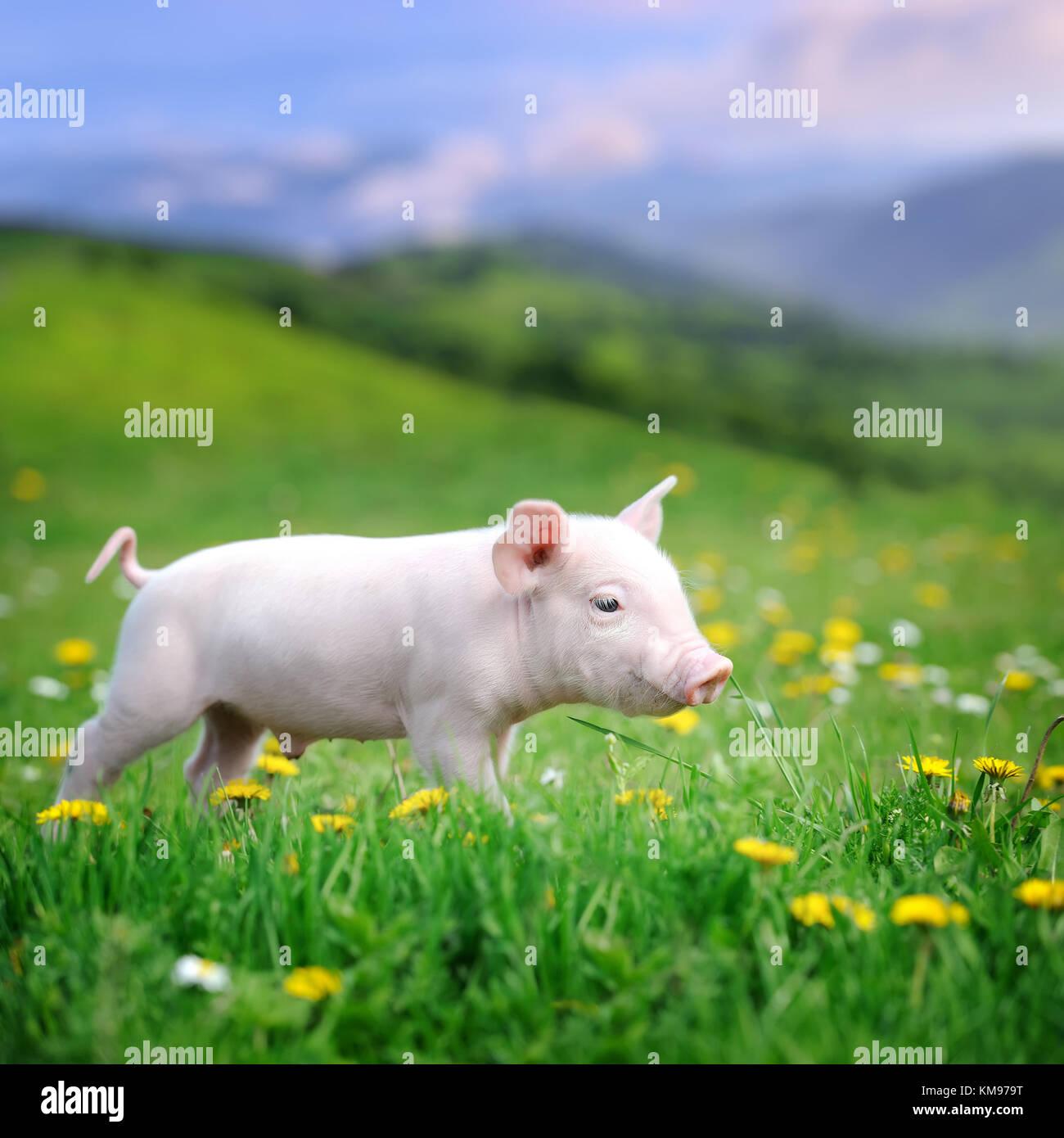 Junge Schwein ein Frühlingsgrün Gras in der Wiese Stockbild