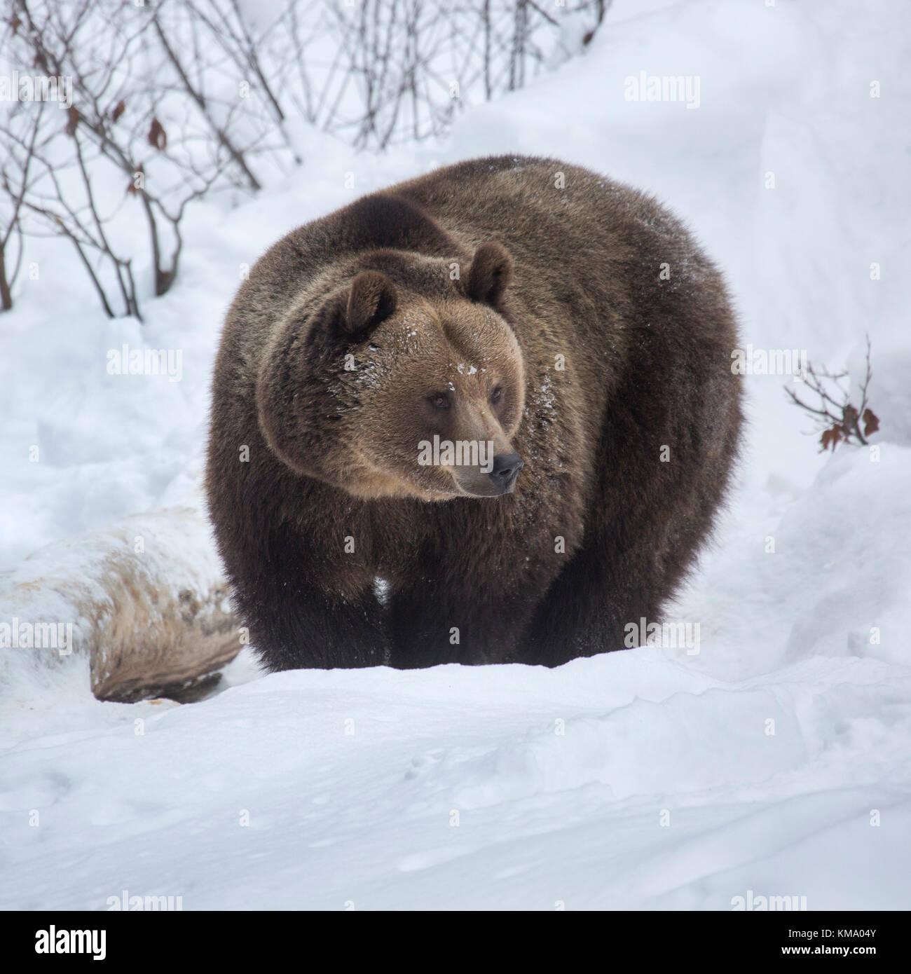 Europäische Braunbär (Ursus arctos arctos) Nahrungssuche in tiefem Schnee im Winter Stockbild