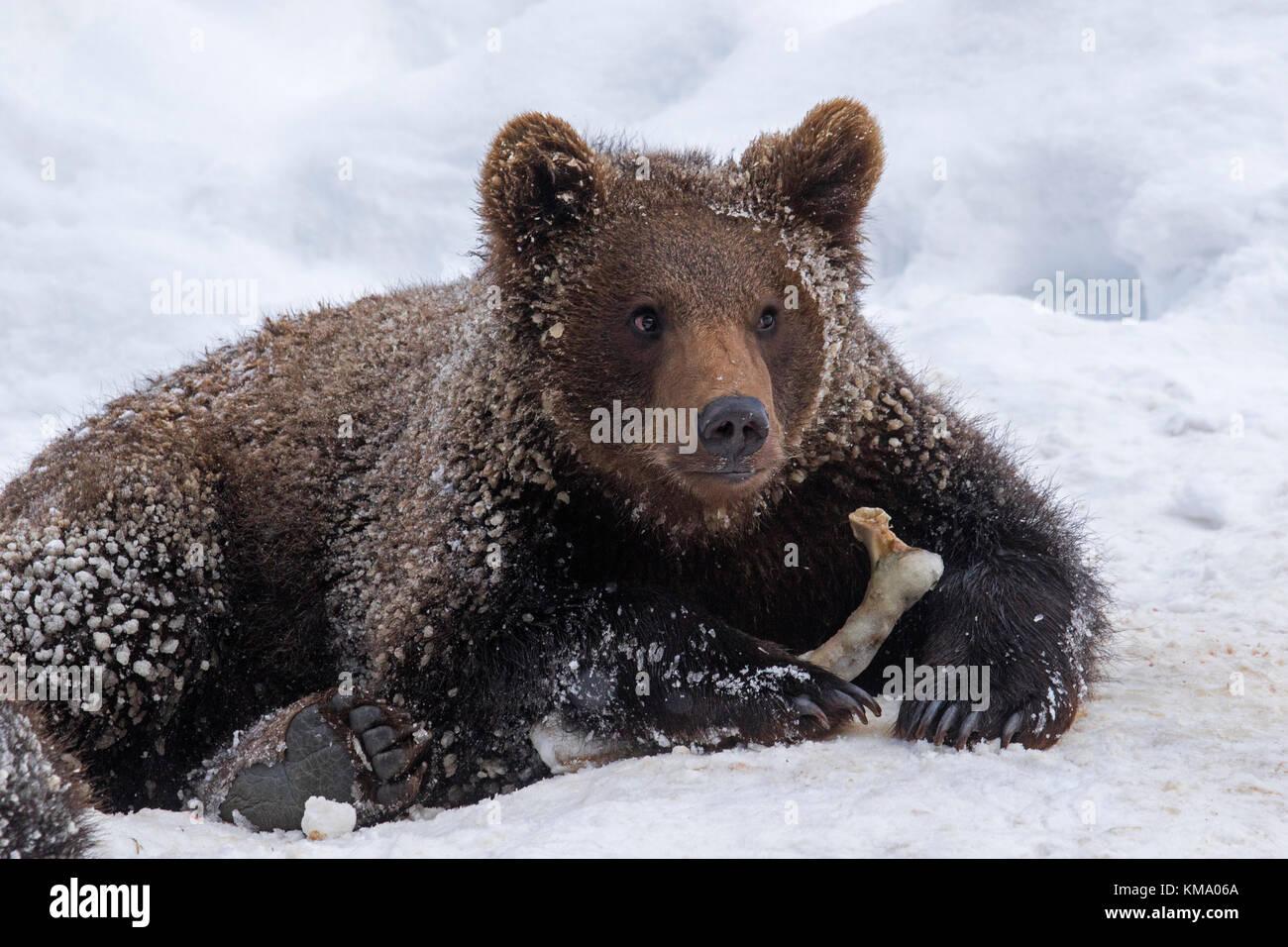 Ein Jahr alten braunen Bärchen (Ursus arctos arctos) spielen mit achsschenkel Knochen im Schnee im Winter Stockbild