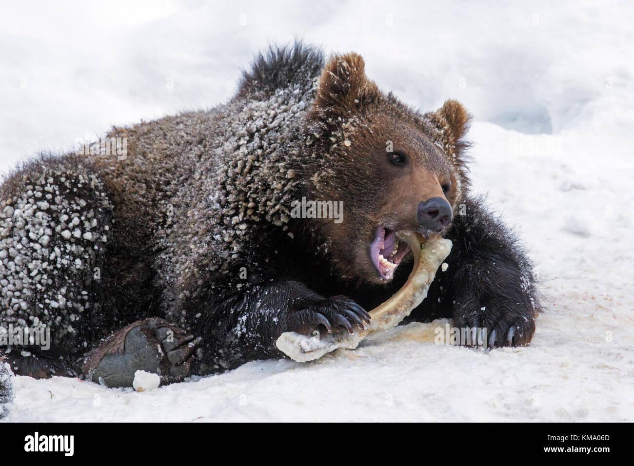 Ein Jahr alten braunen Bärchen (Ursus arctos arctos) nagen am Achsschenkel an Knochen im Schnee im Winter Stockbild