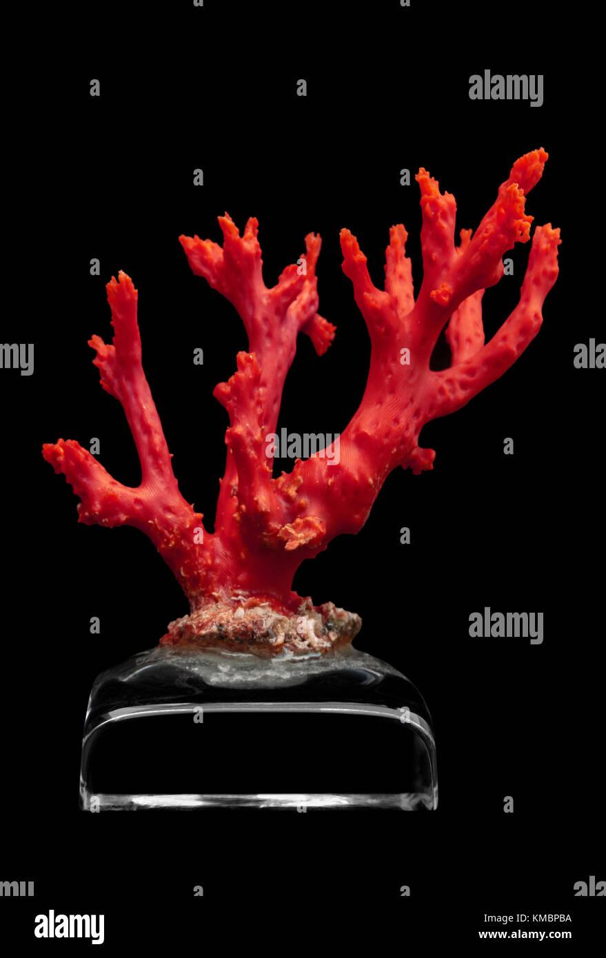 Ein Zweig der roten Mittelmeer Coral angezeigt auf einem Crystal Sockel (Straße von Gibraltar). Diese Koralle Stockbild
