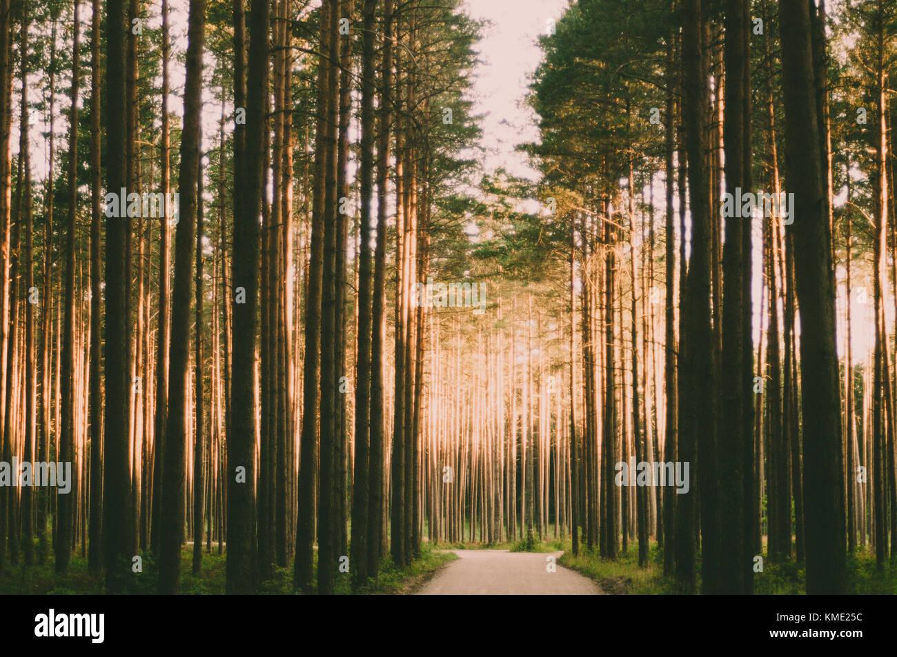 Straße durch den Pinienwald mit Sonnenstrahlen. Stockbild