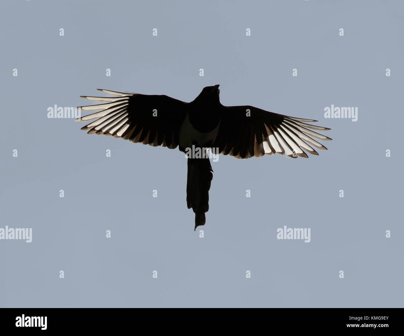 Elster, Pica Pica, im Flug gegen Plain blue sky, Lancashire, Großbritannien Stockbild