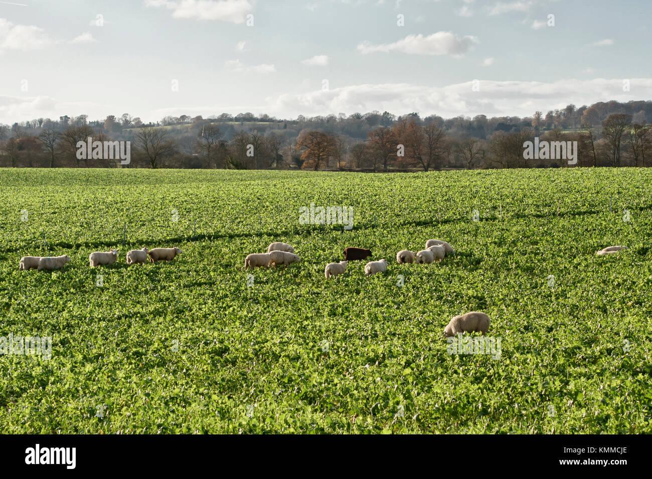 Herefordshire, UK. Ein Feld der Schafe im Winter Beweidung auf die Zucker- oder Futterrüben tops Stockfoto