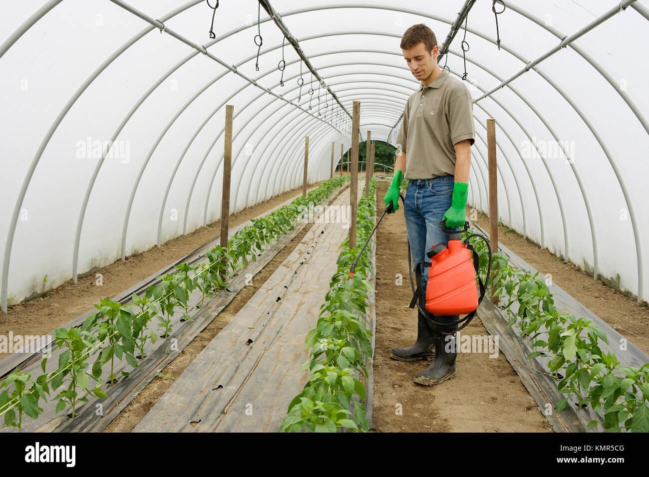 Grüner Pfeffer pflanze Behandlung mit Feldspritze (Insektizide, Pestizide). Gewächshaus. Die landwirtschaftliche Stockbild