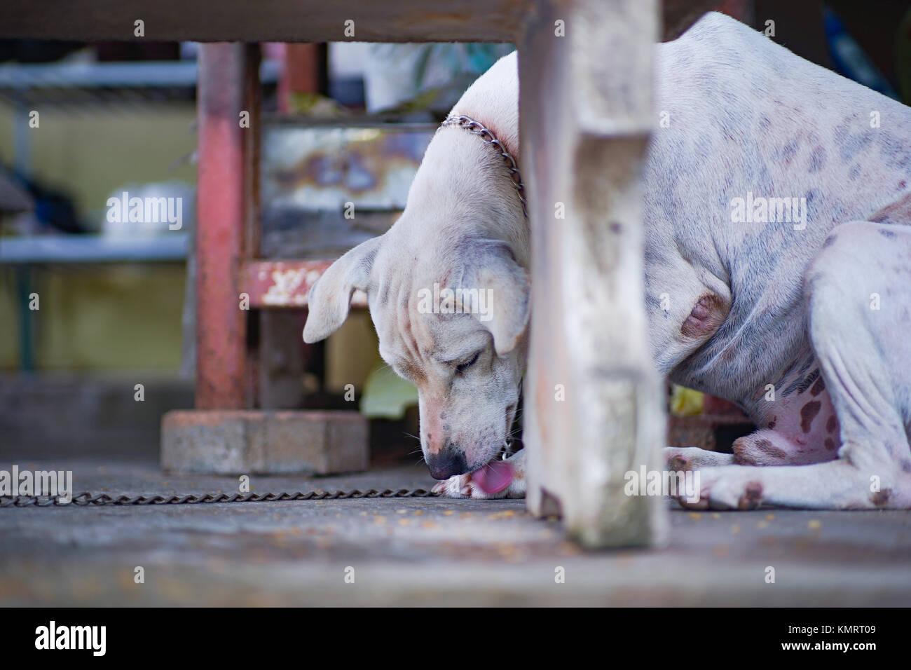 Der Weisse Hund War Angekettet Unter Der Tabelle Mit Seinem Bein