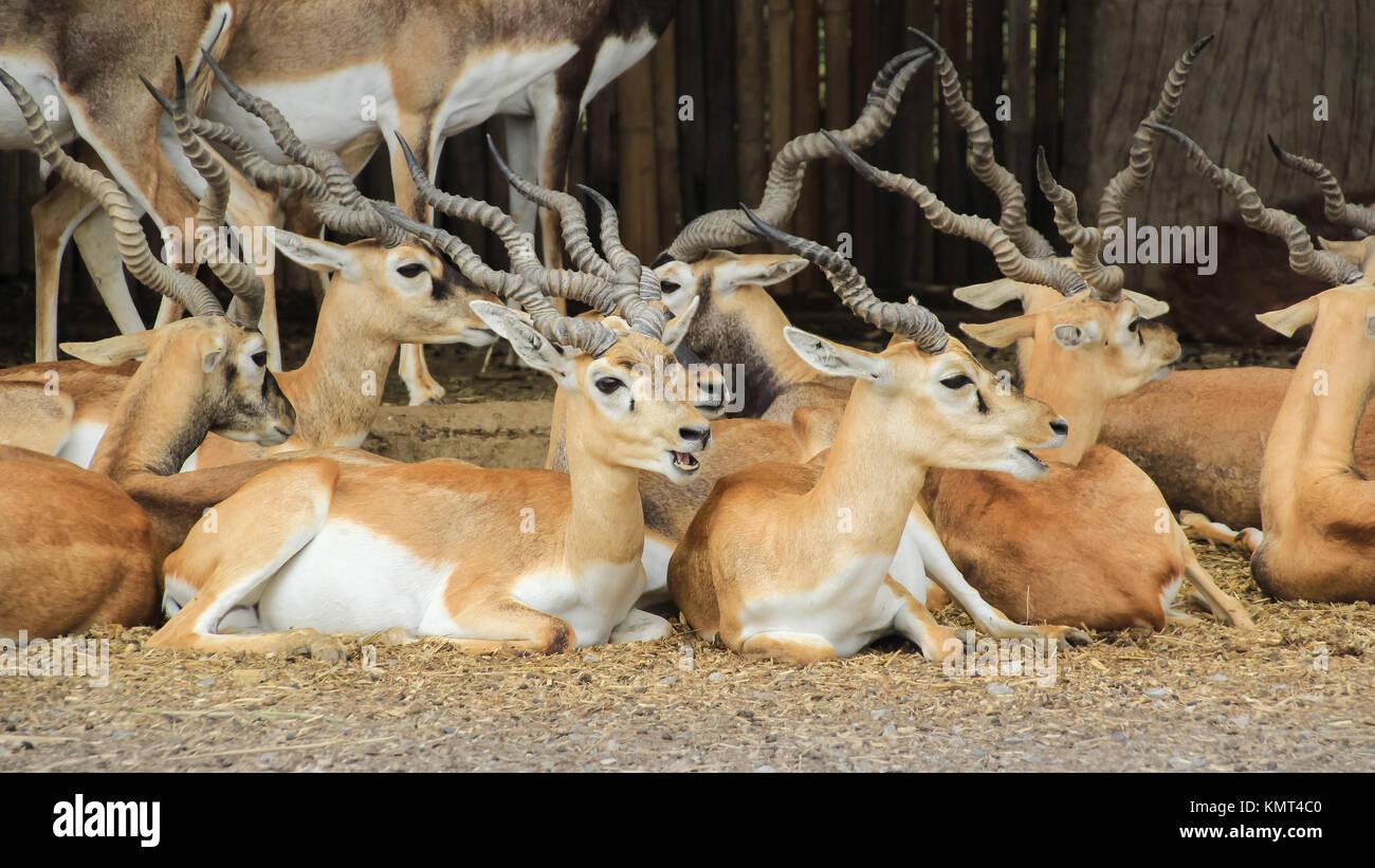 Gruppe von Blackbucks, indische Antilopen legte sich auf Boden Stockbild