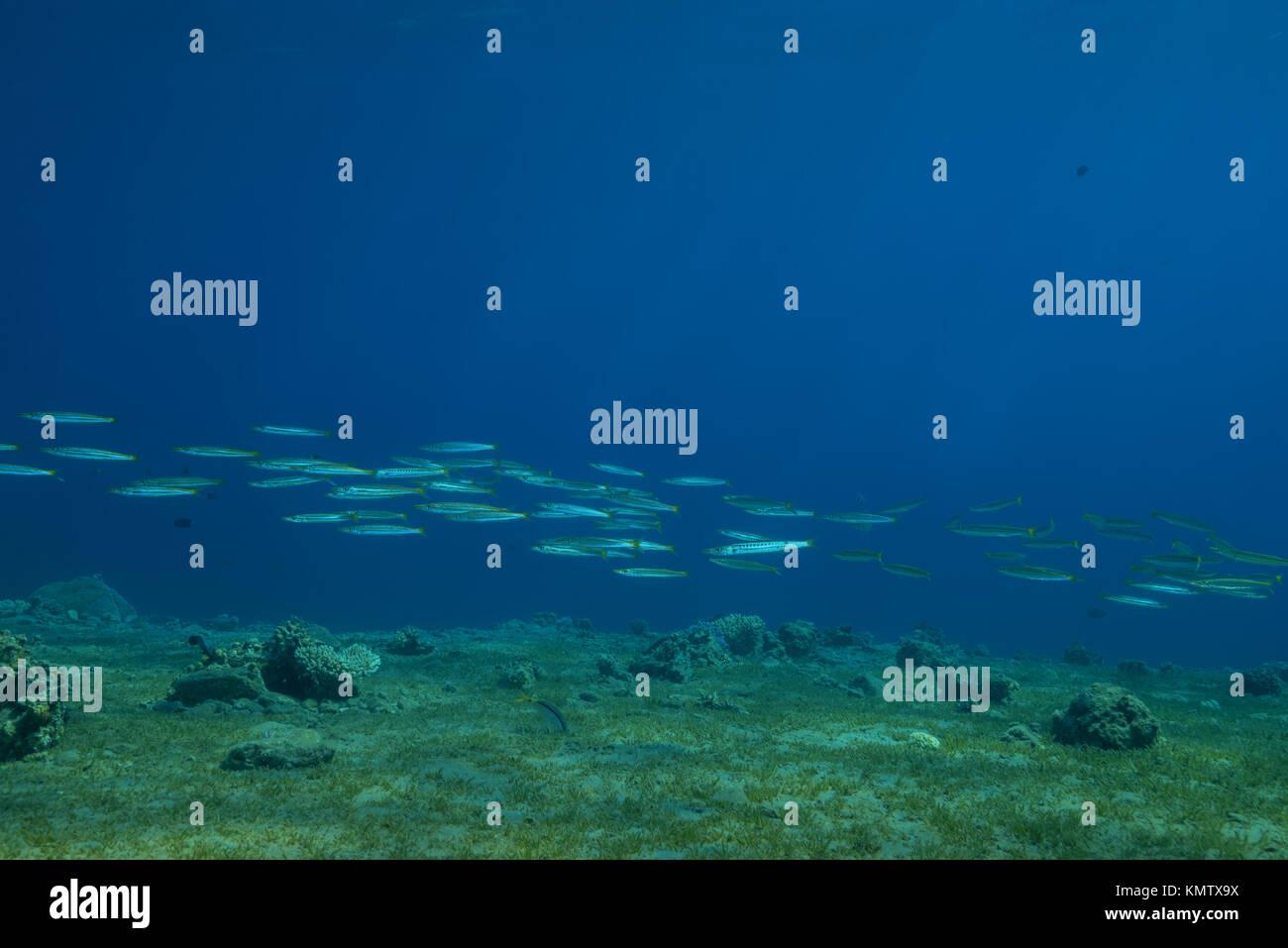 Schule der Gelb-Schwanz Barrakudas (Sphyraena flavicauda) Schwimmen über Sea Grass Stockbild