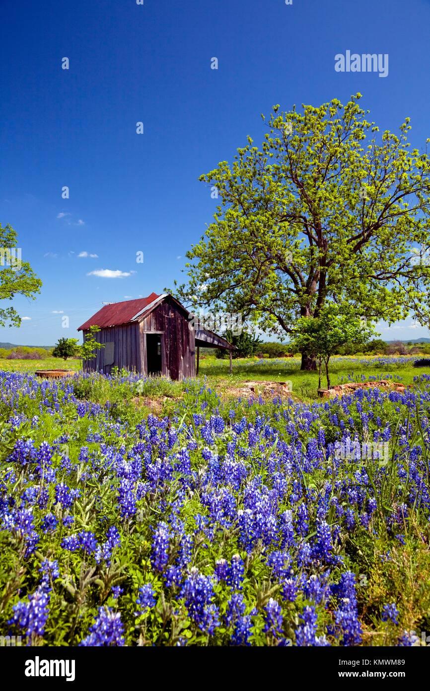 verlassene geb ude ruinen mit bluebonnet wildblumen im gebirge bei pontotoc texas usa. Black Bedroom Furniture Sets. Home Design Ideas