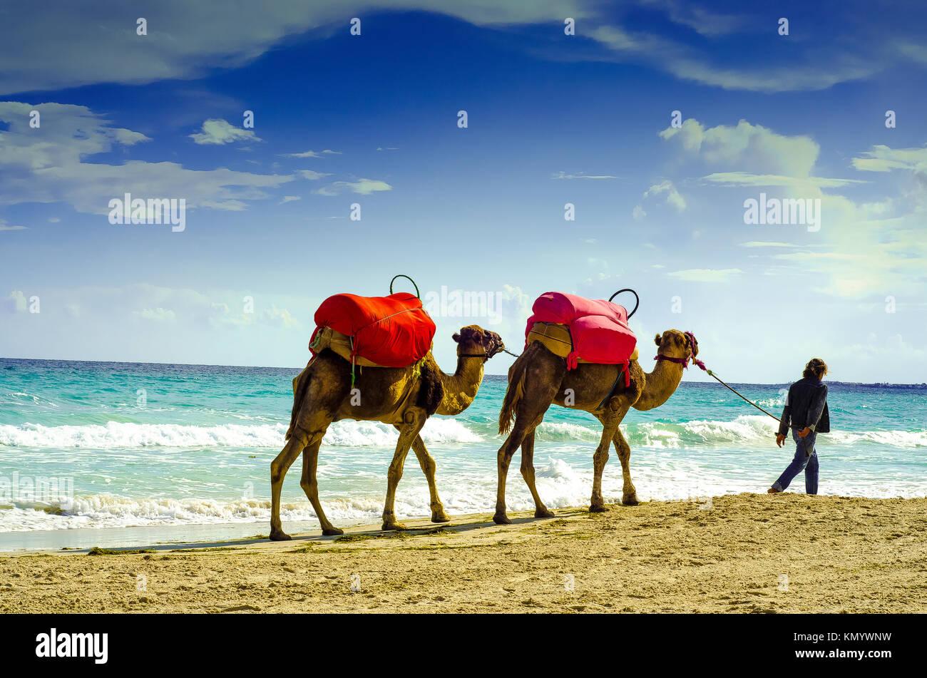 Kamele am Strand, Djerba, 07. November 2014 Stockbild