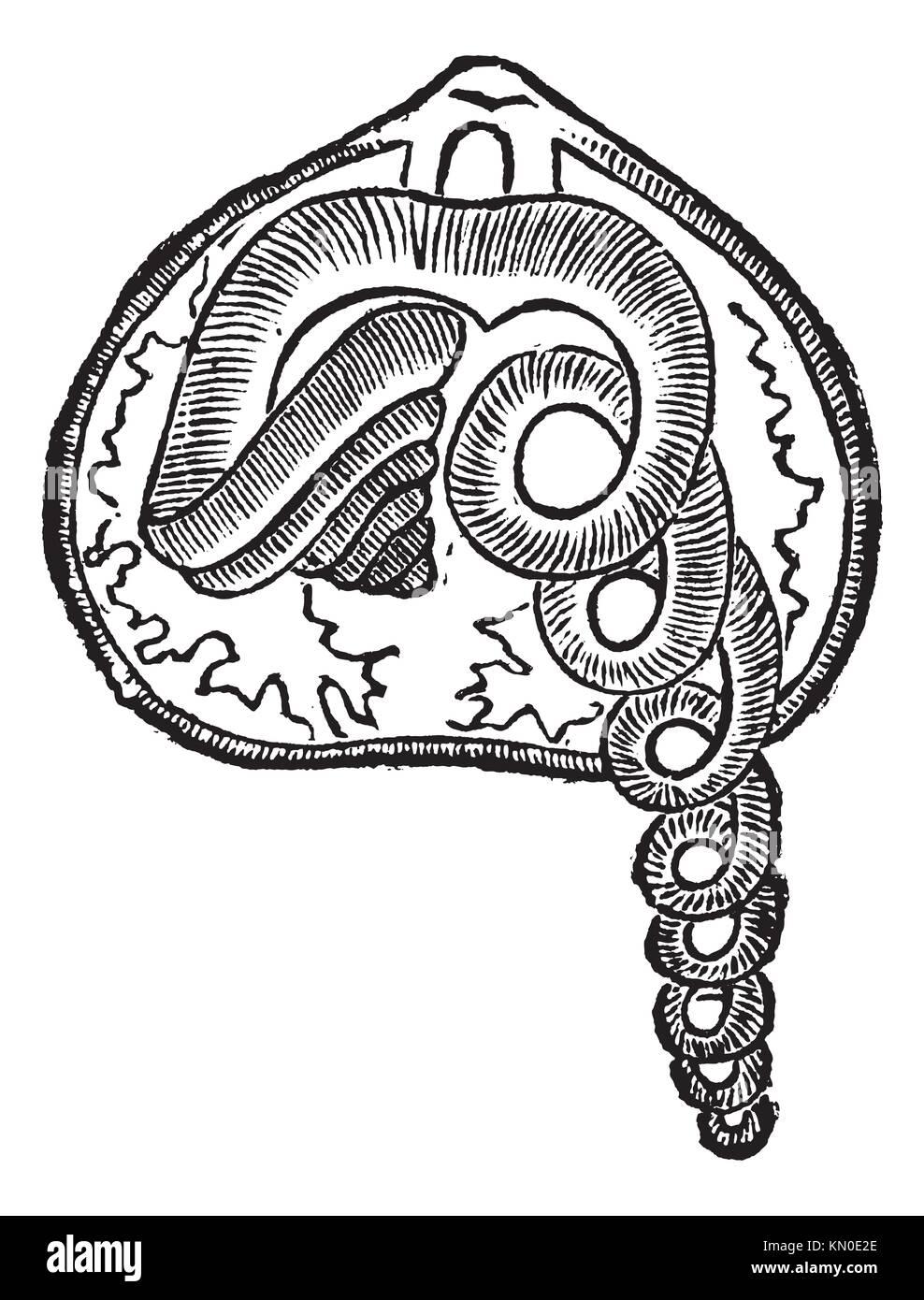 Brachiopod, Marine, Tier, Vintage eingravierten Abbildung: Brachiopod, Tier Stockbild