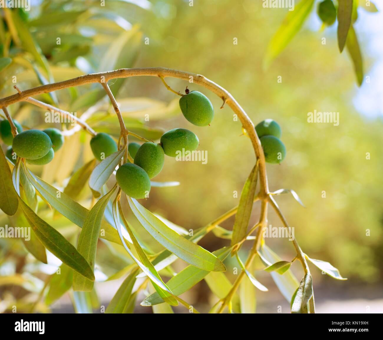 detail der olivenbaum mit gr nen oliven obst im spanischen mittelmeerk ste stockfoto bild. Black Bedroom Furniture Sets. Home Design Ideas
