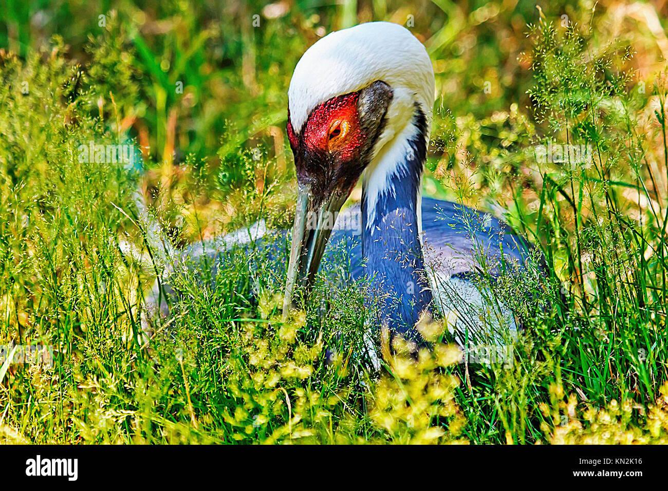 Asiatische Hooded Crane in Gras, Nahaufnahme von Kopf und roten Augen, Grus Monacuhus Stockbild