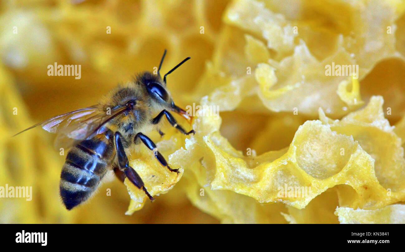Eine Biene auf einer Wabe, Makro. Stockbild