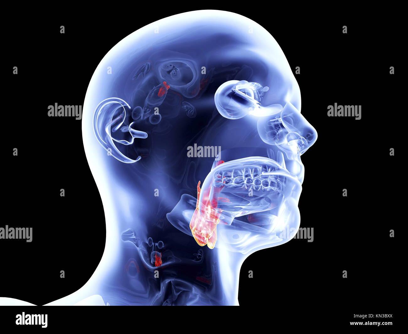 Der Kehlkopf. 3D gerendert anatomische Abbildung Stockfoto, Bild ...