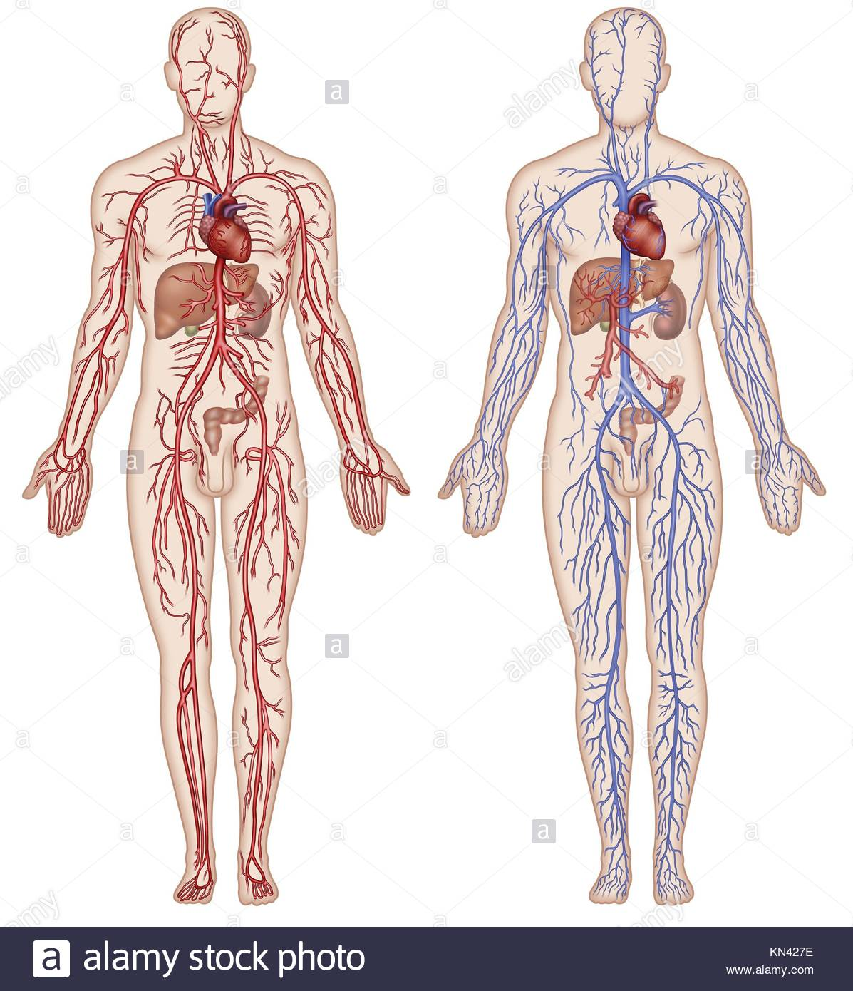 Atemberaubend Organe In Herz Kreislauf System Galerie - Menschliche ...