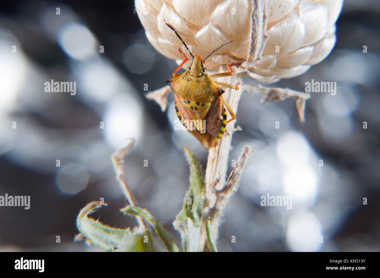 Carpocoris fuscispinus True bug Klettern eine trockene Blume. Interessanten kleines Insekt auch als Käfer stinken. Stockbild