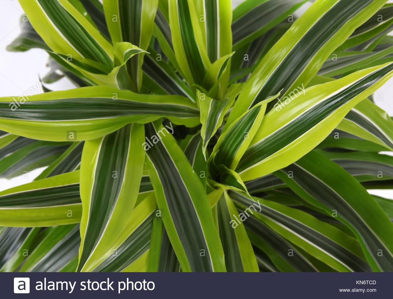 Chlorophytum - immergrüne mehrjährige blühende Pflanzen in der Familie Asparagaceae. Stockbild