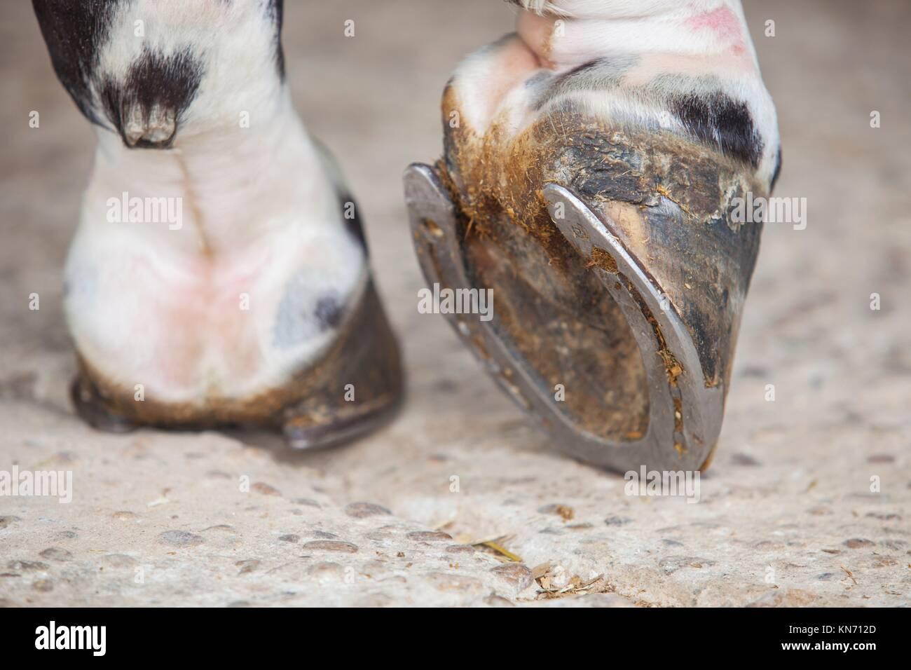 Detaillierte Ansicht des Pferdes Fuß Huf außerhalb der Ställe. Stockbild