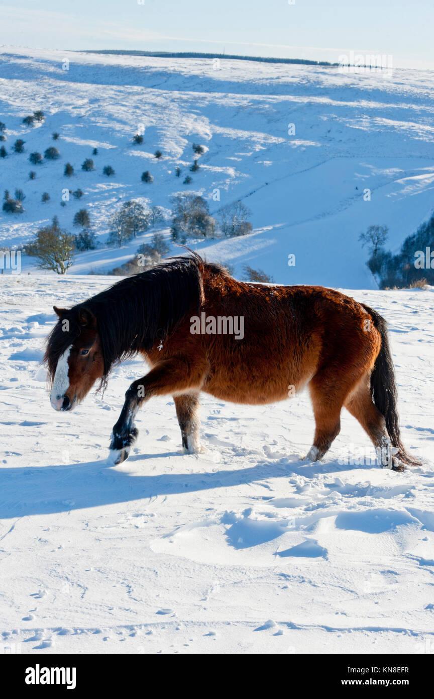 Builth Wells, (mynydd Epynt) Powys, Wales, UK. 11. Dezember 2017. Ein Welsh Pony watet durch den tiefen Schnee. Stockbild