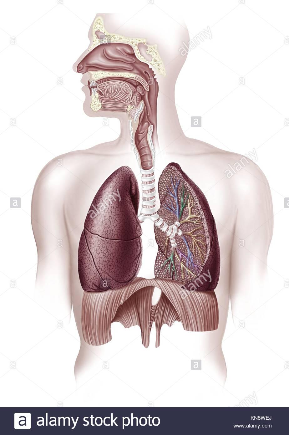 Ausgezeichnet Die Menschliche Nase Anatomie Zeitgenössisch ...