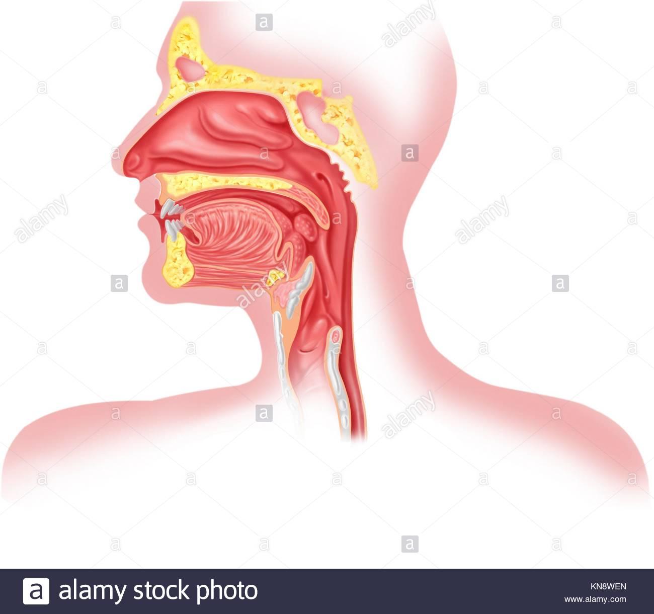 Menschliche Atmungssystem Querschnitt, Leiter teil Stockfoto, Bild ...