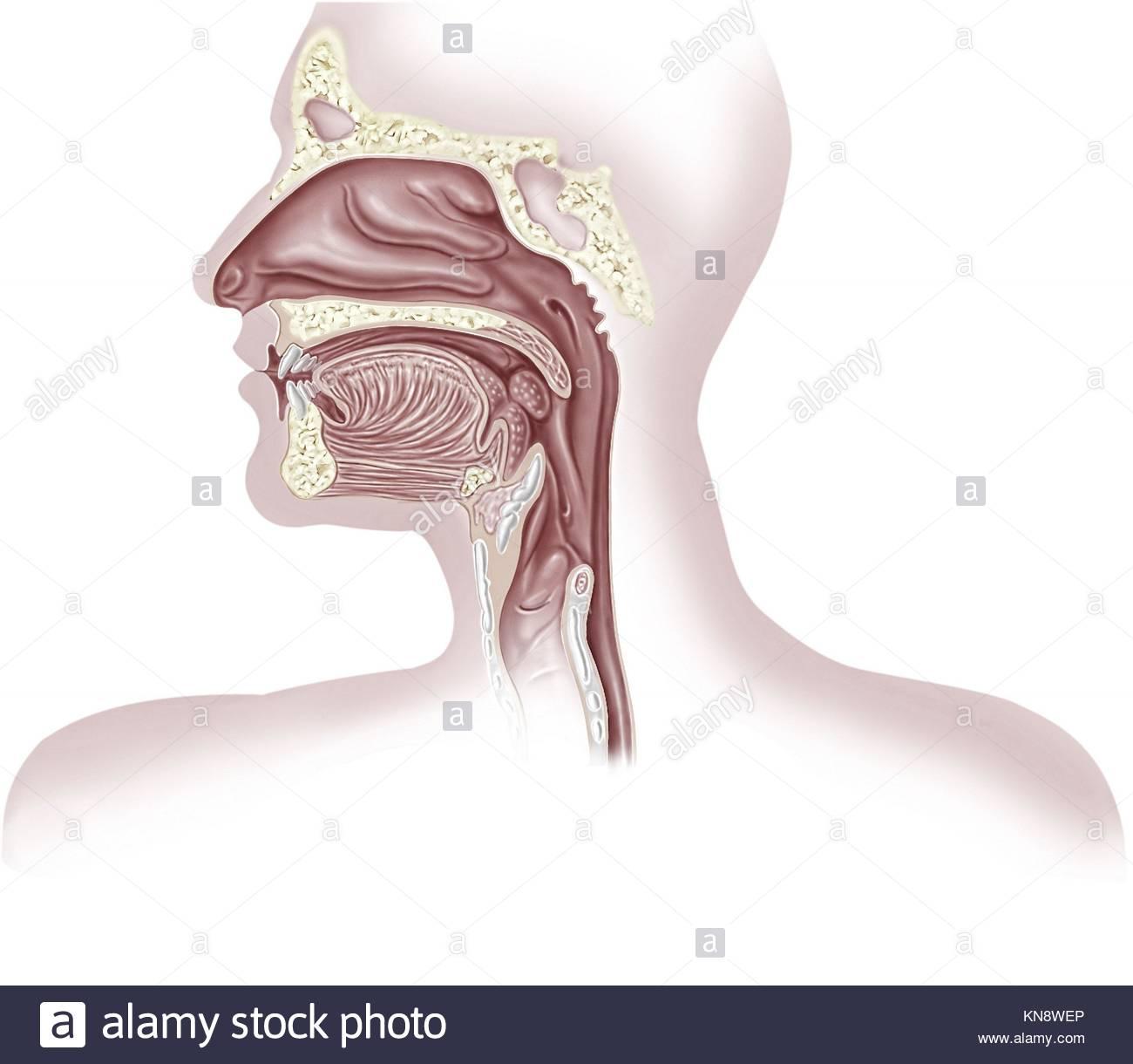 Charmant Membran Atmungssystem Ideen - Menschliche Anatomie Bilder ...