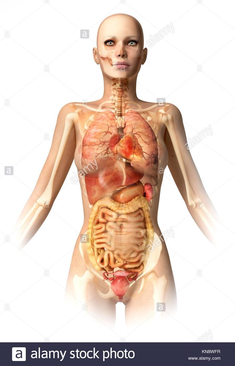 Körper der Frau, mit Knochen Skelett und alle inneren Organe ...