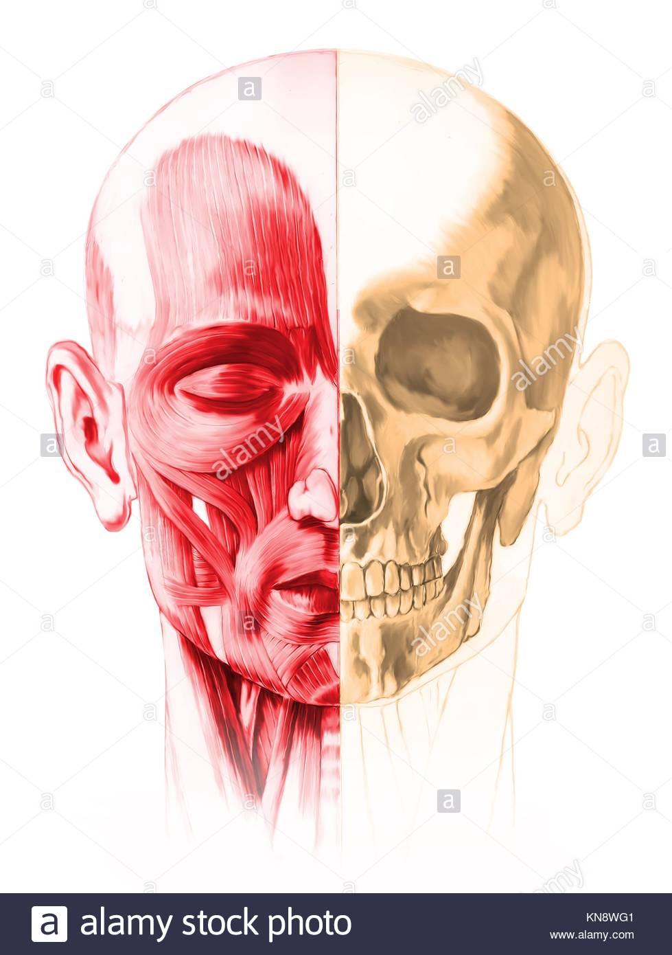 Vorderansicht der männlichen menschlichen Kopf, mit der Hälfte der ...