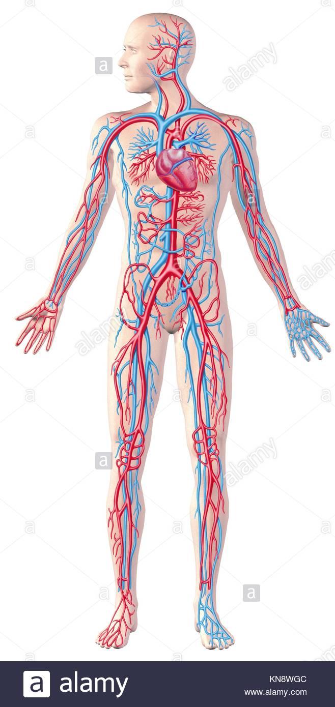 Menschliches Herz-Kreislauf-System, volle Gestalt, Cutaway Anatomie ...