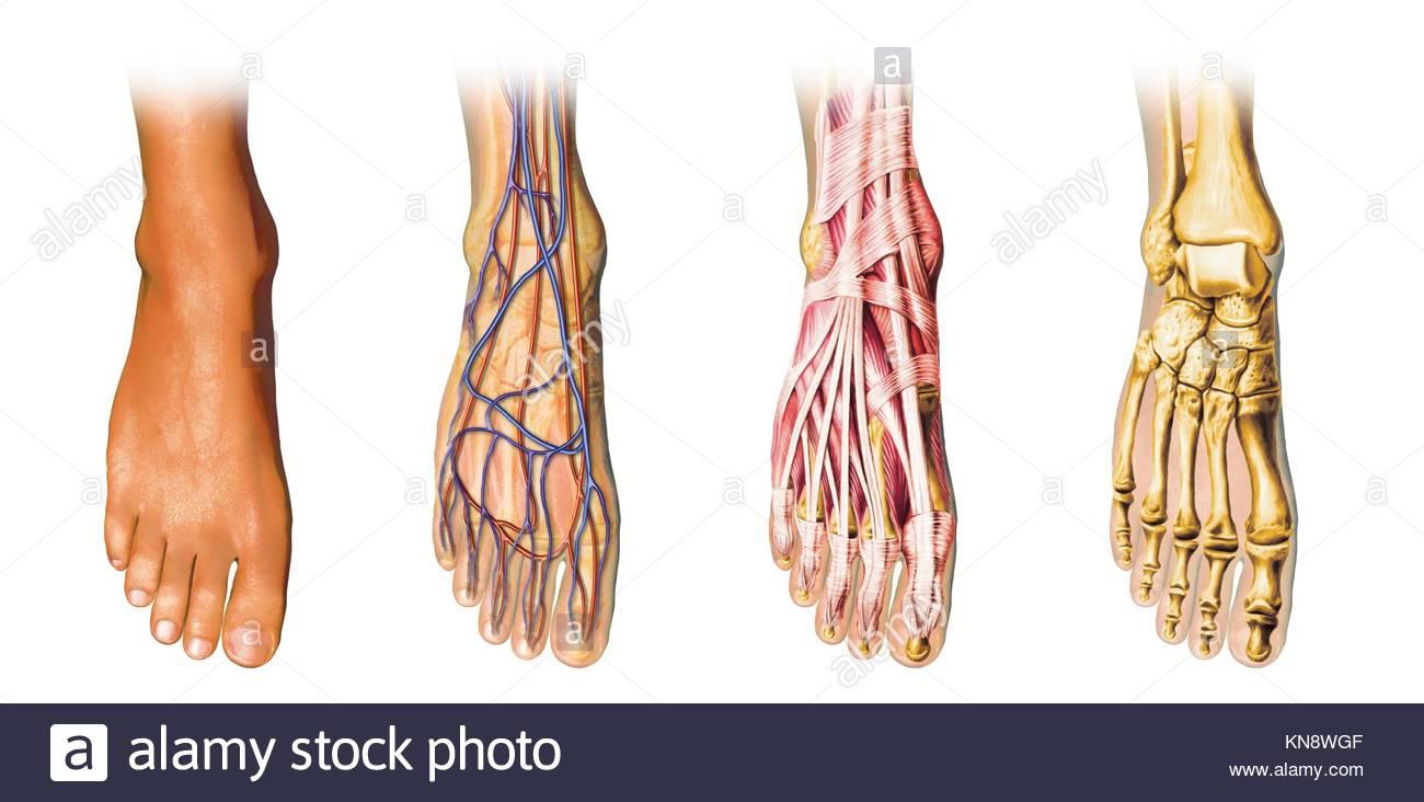 Human Skin Diagram Stockfotos & Human Skin Diagram Bilder - Alamy