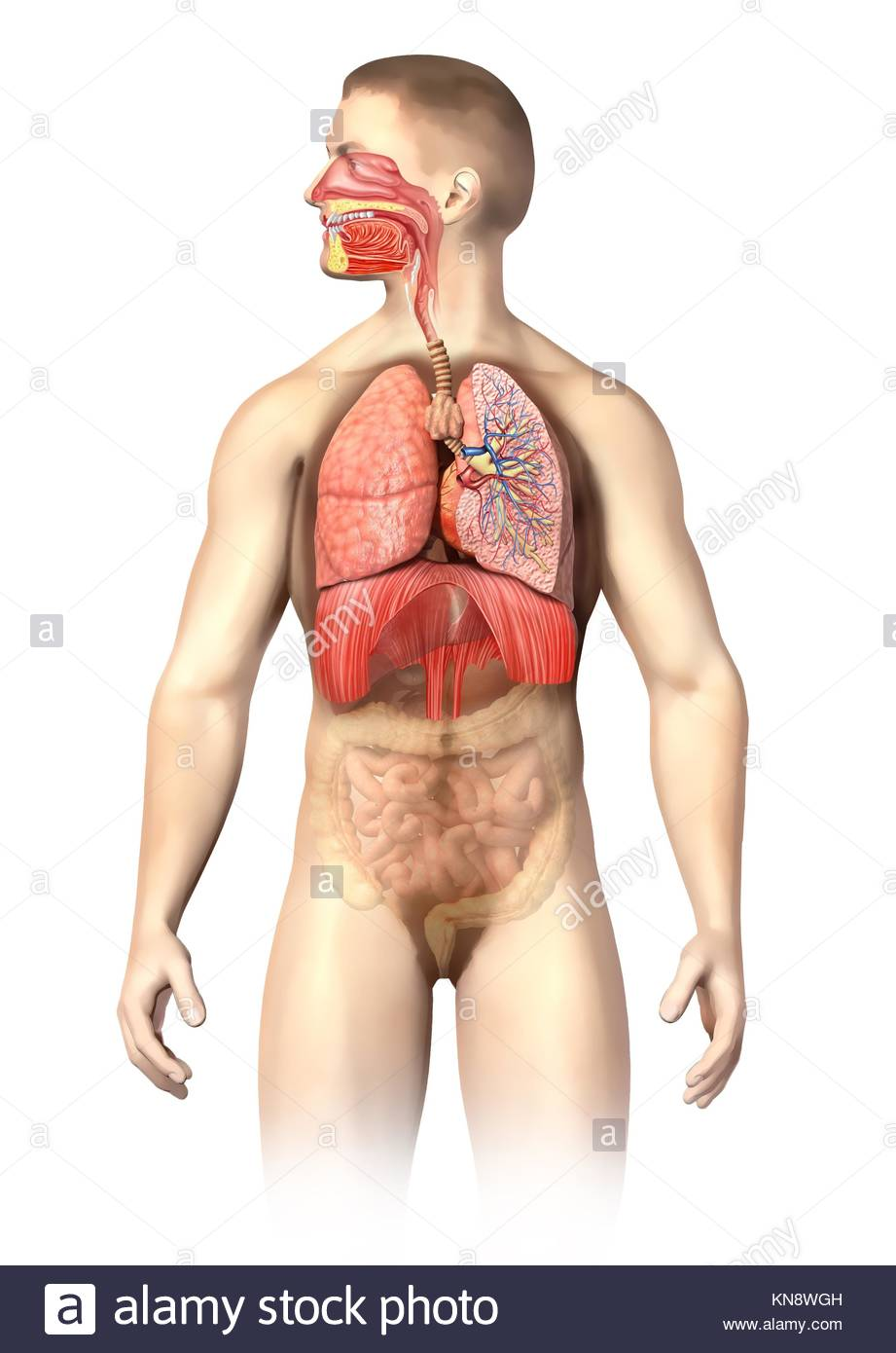 Der Mensch Anatomie Atmungsorgane Cutaway, einschließlich Mund. Die ...